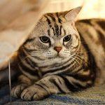 Американская короткошерстная - домашняя кошка