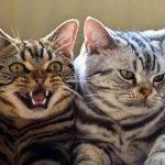Американская короткошерстная - независимая порода кошек