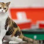 Американская жесткошерстная - свободолюбивая порода кошек