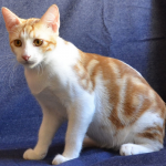 Анатолийская порода кошек - независимая порода