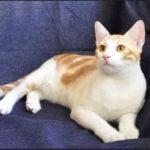 Анатолийская порода кошек - особенности породы