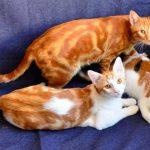 Анатолийская порода кошек - самостоятельная порода