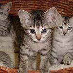 Анатолийская порода кошек - тихая порода