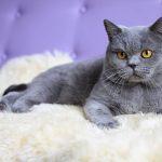 Британская короткошёрстная кошка - отдых