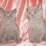 Британская короткошёрстная кошка содержание