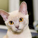 Бурманская кошка - кремовый окрас