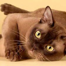 Бурманская кошка - содержание