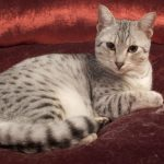 Египетский мау- кошка-компаньон