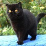 Экзотическая короткошерстная кошка - красивая порода