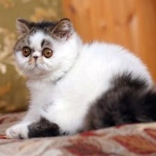 Экзотическая короткошерстная кошка - милая порода