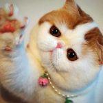 Экзотическая короткошерстная кошка - описание породы
