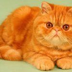 Экзотическая короткошерстная кошка - содержание