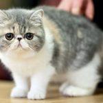 Экзотическая короткошерстная кошка - спокойная порода