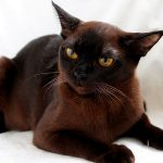 Европейская бурманская кошка - описание породы