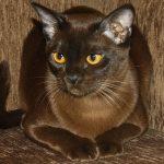 Европейская бурманская кошка - содержание