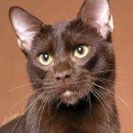 Гавана браун - кошка с выразительной мордой