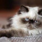 Гималайская порода кошек - активная порода