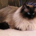 Гималайская порода кошек - описание породы