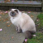 Гималайская порода кошек - особенности