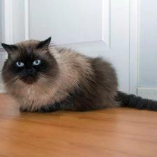 Гималайская порода кошек - уход