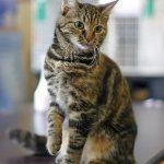 Кельтская кошка - хороший компаньон