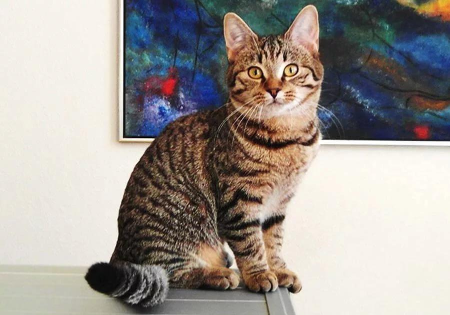 товар европейская короткошерстная кошка картинка данной теме создадим