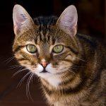 Кельтская кошка - распространенная порода