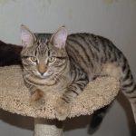 Кельтская кошка - уход