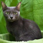 Корат - кошка с выразительными глазами