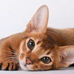 Котенок абиссинской