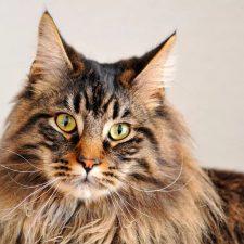 Мейн-кун - большие кошки