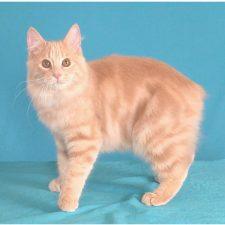 Мэнкс -кошки без хвоста