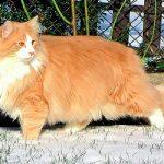 Норвежская лесная кошка - кошка викингов