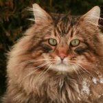 Норвежская лесная кошка - содержание
