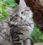 Норвежская лесная кошка - уход