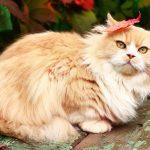 Персидская кошка - содержание