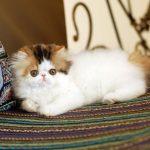 Персидская кошка - великолепная порода
