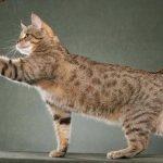 Пиксибоб - кошка-рысь