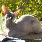 Питерболд - кошки без шерсти