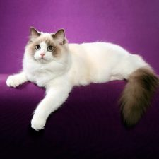 Рэгдолл - кошка-собака