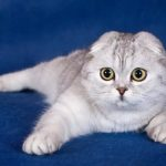 Шотландская вислоухая кошка - необычная порода