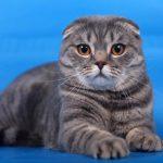 Шотландская вислоухая кошка - особенности породы