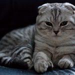 Шотландская вислоухая кошка - забавная порода