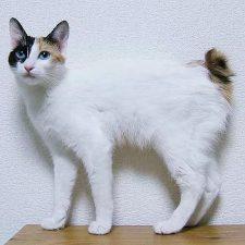 Японский бобтейл - особенности породы