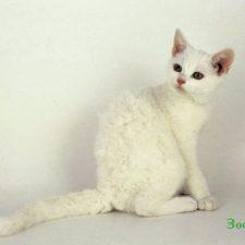 белый котенок американской жесткошерстной
