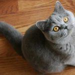 Британская кошка - особенности породы