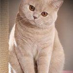 британская кошка - прямоухая
