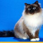 Пушистая бирманская кошка