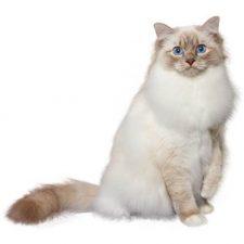 описание породы бирманской кошки