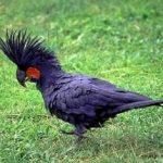 Черный пальмовый какаду - крупный вид попугаев